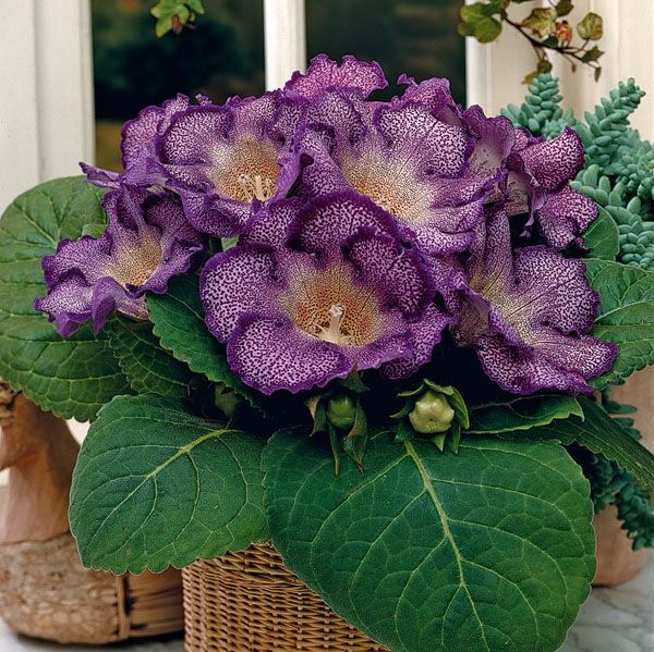 9 Varieties Gloxinia Seeds, Sinningia Speciosa, 100pcs/pack
