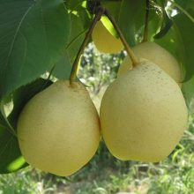Golden Pear Seeds, Giant Fruit Tree Seeds, 30pcs/pack