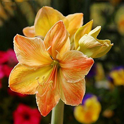 100pcs/bag Amaryllis Seeds, Hippeastrum seeds