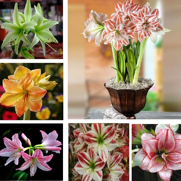 1 Big Bulb True Amaryllis Bulbs Not Seeds Bonsai Flower Bulbs,Hippeastrum Flowers Bulbous Root Barbados Lily Potted Plants