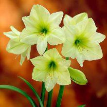 1pc Hippeastrum Bulbs Indoor Bonsai Flower Bulbous Root Plants Pot for home garden decor Best packaging 100% live NOT SEEDS