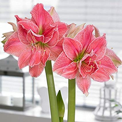 1pc Hippeastrum Bulbs Indoor Bonsai Flower Bulbous Root Plants Pot for home garden decor Best packaging 100% live NOT SEEDS