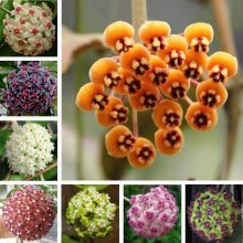 Hoya Carnosa Seeds Beautiful Ball Orchid, 100pcs/pack