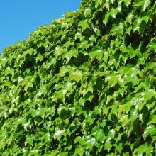 Climbing Plant Ivy Seeds, Parthenocissus Tricuspidata Seeds, 100pcs/pack