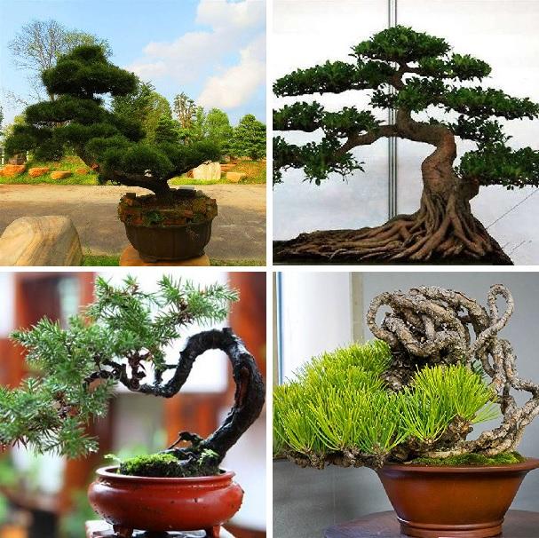 Pine Seeds, Green Bonsai Tree Seeds, 20pcs/pack