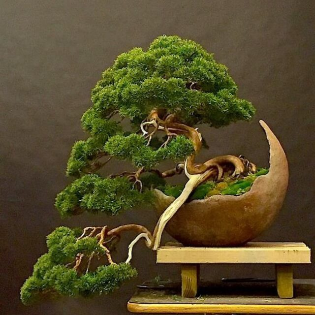 20pcs black pine seeds natural indoor bonsai tree seeds wooden perennial plants for home garden decor best packaging