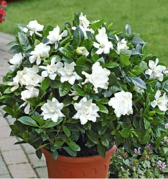 Rare Jasmine Seeds, 20pcs/pack