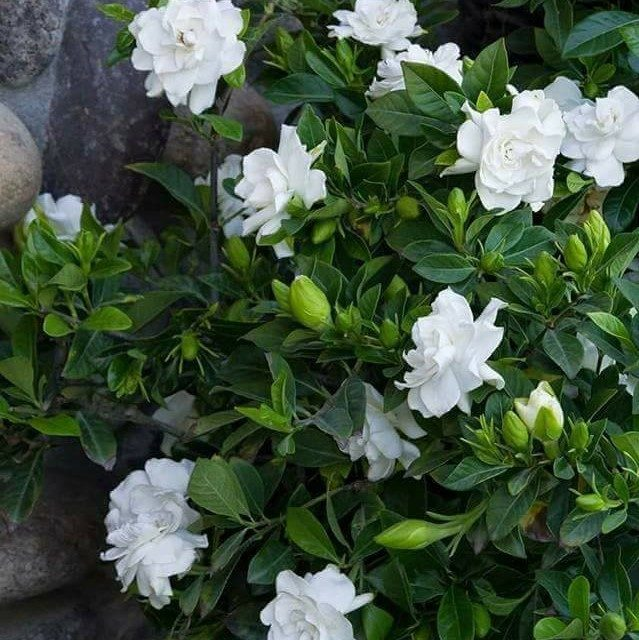 Cape Jasmine Seeds, 20pcs/pack