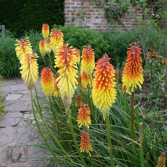 Hot Poker Seeds, Kniphofia Uvaria Seeds, Torch Lily Flower Seeds, 50pcs/pack