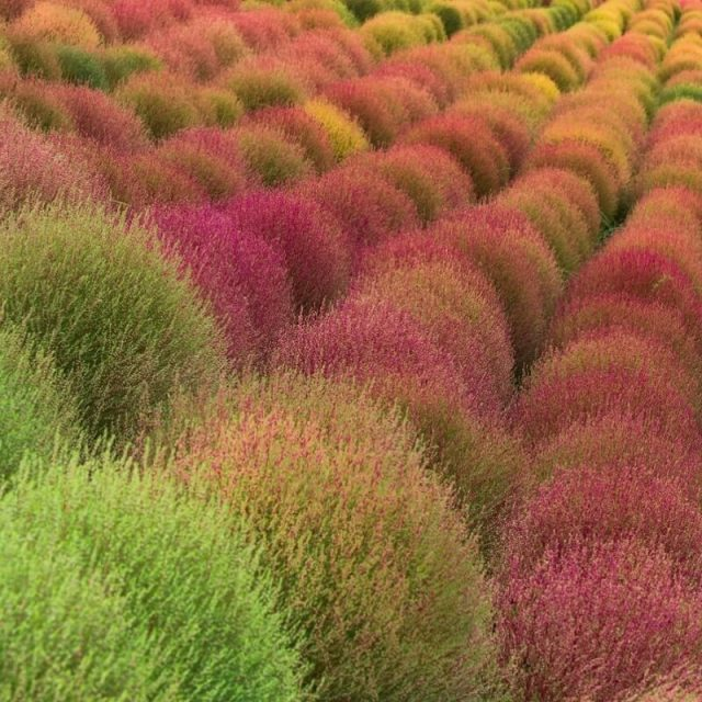 Grass Burning Bush Kochia Scoparia Seeds, 200pcs/pack