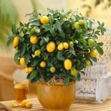 Kumquat Seeds, 40pcs/pack
