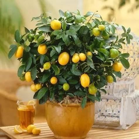 Kumquat Seeds, 40pcs/pack