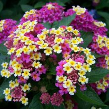 Multi Color Lantana Camara Seeds, 100pcs/pack