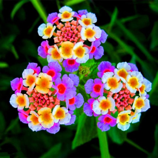 Beautiful Shrub Verbena Seeds, 100pcs/pack
