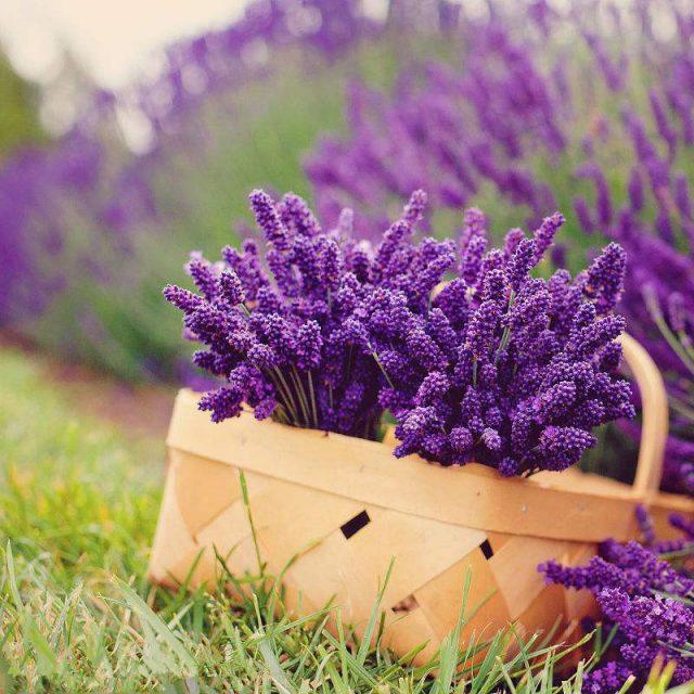 Lavender Seeds, 100pcs/pack