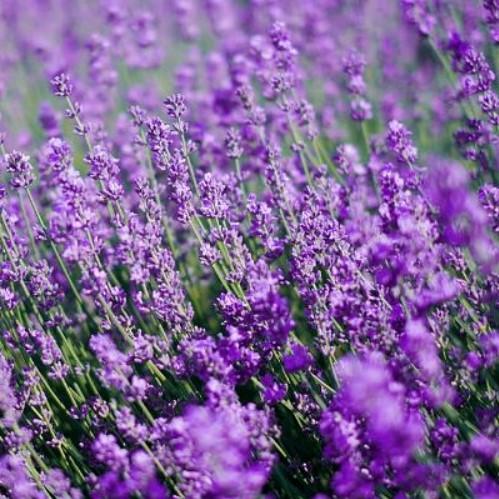 Rare Blue Lavender Seeds, 100pcs/pack