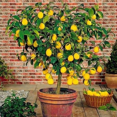 Lemon Tree Seeds, 50pcs/pack