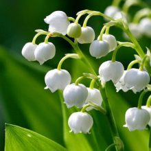Lily Of The Valley Flower Seeds, Bell Orchid Seeds, 100pcs/pack