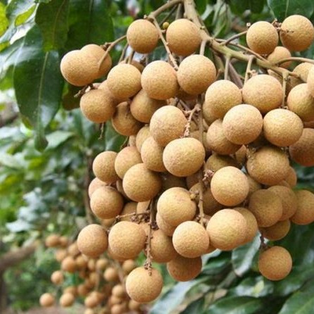 10pcs Longan seeds sweet fruit seeds outdoor bonsai perennial palnts mini litchi fruit tree for garden farm supplies