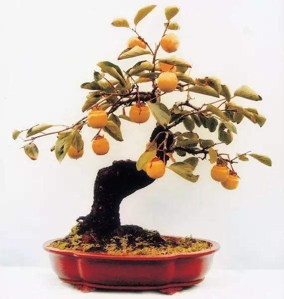 Loquat Seeds, Bonsai Fruit Seeds, Eriobotrya Japonica, 5pcs/pack
