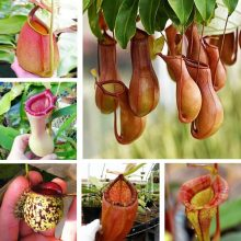Nepenthes Seeds, Flytrap Plant, 100pcs/pack