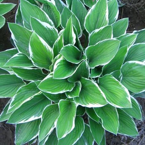 100pcs/bag beautiful  Hosta Plants Perennials Lily Flower Shade Hosta Flower Grass Seeds Ornamental Plants Home Garden