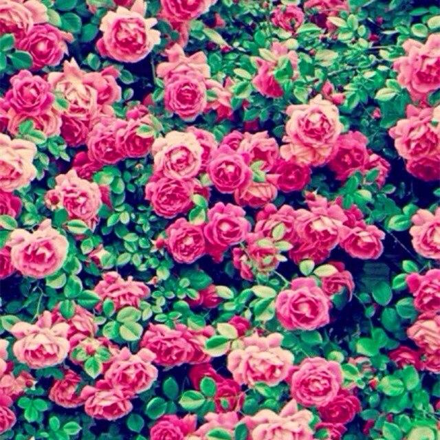 100 pcs/lot rare colorful Climbing rose seeds