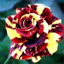 100pcs/bag rose seeds tiger striped rose rare bonsai flower seeds rainbow green blue black rose petals plant for home garden