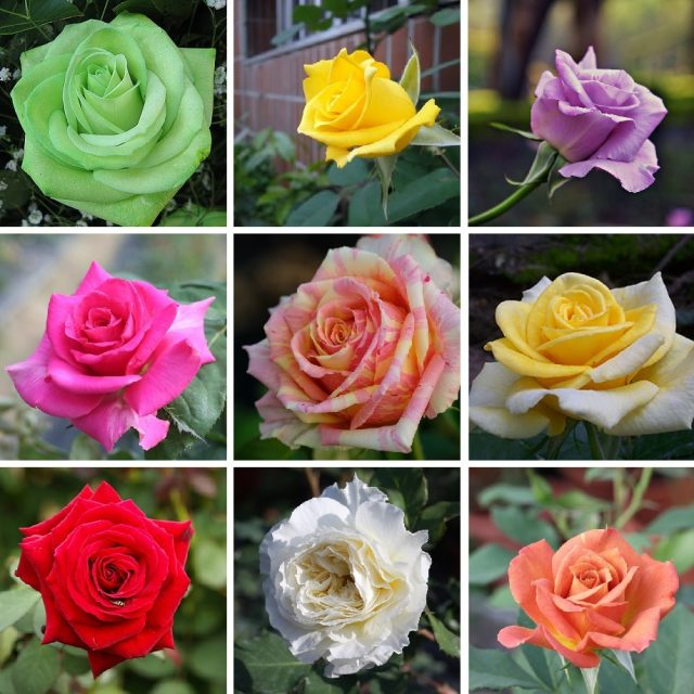 100pcs Rare rose seeds, Perennial Indoor bonsai plant flower seeds,for home and garden,rainbow rose