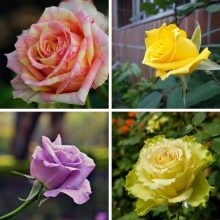 Big Promotion!White Heart Pink Side Rose Seeds 24 Colors Plants Potted Rose Rare Flower Seeds Balcony 100 Seed/Lot,#73YK41