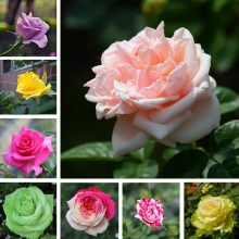 100pcs/bag rare Multi-color rose seeds rose bonsai seed bonsai flower seeds black rose rare balcony plant for home garden potted