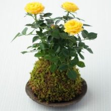 100pcs/bag mini rose bonsai, Miniature rose seeds, A little cute plants for miniature garden plant potted baby gift flower seeds