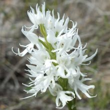 Orchis Italica Seeds, Beautiful Funny Orchid, 100ps/pack