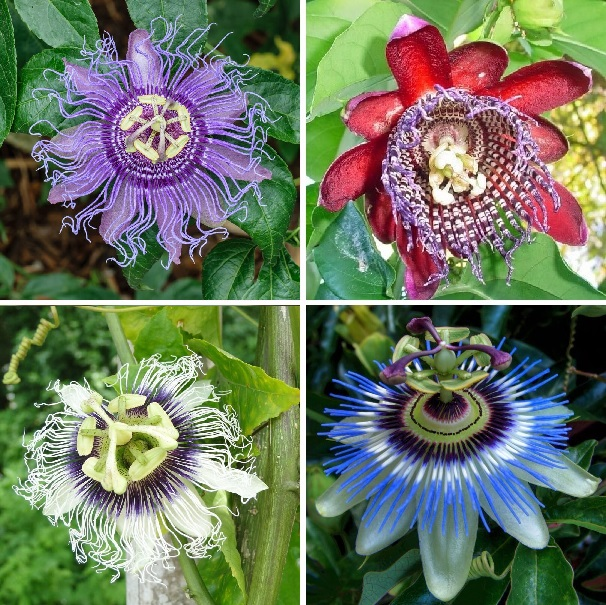 Passion Flower Seeds, 100pcs/pack