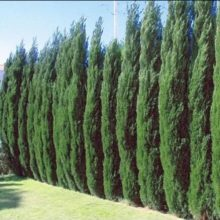 Pencil Point Juniper Seeds, Cupressus Sempervirens Stricta Seeds, 50pcs/pack