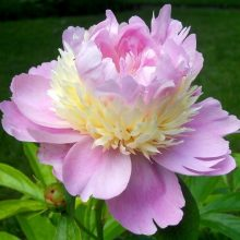 10pcs/pack Very Rare Tree Peony Flower Seeds, New Variety Light up Your Garden mixed color and species