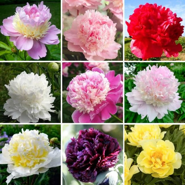 10 pcs/bag Double Blooms peony seeds Heirloom Sorbet Robust peony yellow bonsai flower seeds pot tree peony seeds garden plant