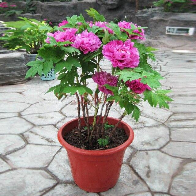 Multi-Varieties Double Blooms Peony Seeds, 10pcs/pack