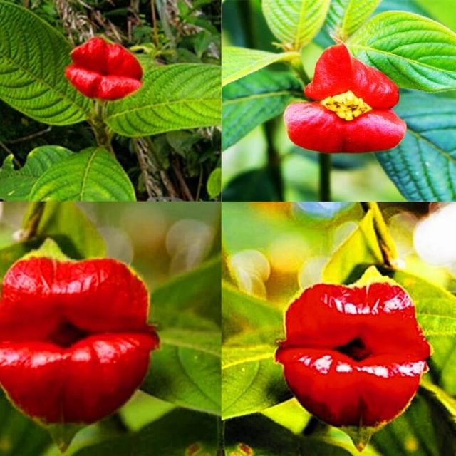 Psychotria Elata Seeds, Red Hot Lips Flower Seeds, 100pcs/pack