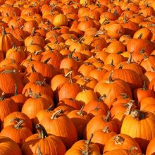 Pumpkin Seeds, 100pcs/pack