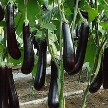 Delicious Deep Purple Eggplant Seeds, 100pcs/pack