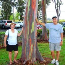 Hawaii Rainbow Eucalyptus Tree, Eucalyptus Deglupta, 100pcs/pack