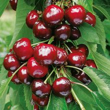 Dark red cherry seeds Sweet dwarf fruit tree seeds Spring farm home bonsai plants potted Easy to grow Best packaging 20pcs