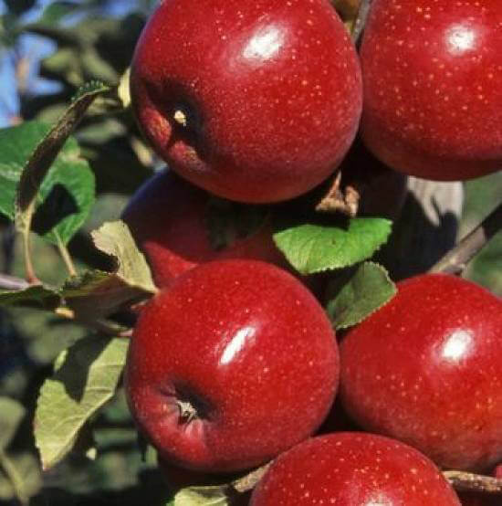 Apple Seeds, Giant Red Sweet Apple Variety, 30pcs/pack