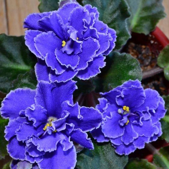 Multi-Varieties Violet seeds, Saintpaulia Seeds, 100pcs/pack