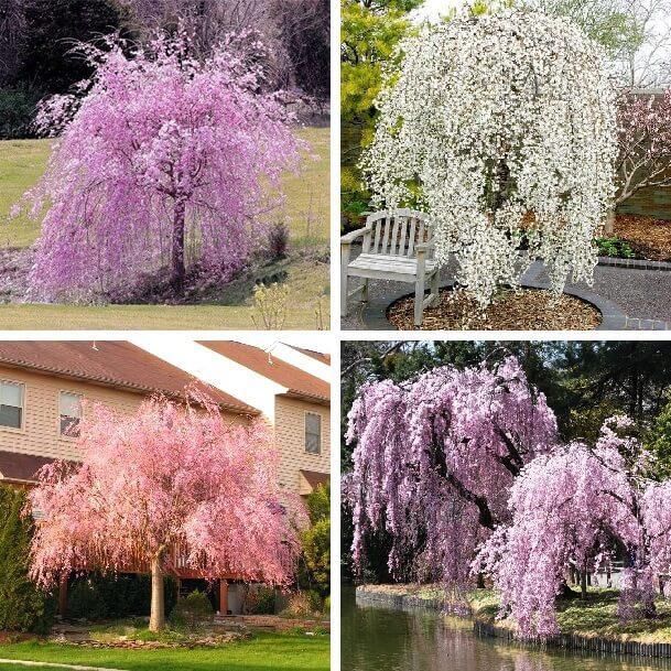 Weeping Sakura Seeds, Cherry Blossom Seeds, 10pcs/pack