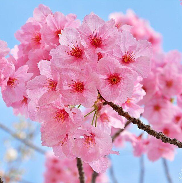 Cherry Blossom Tree Seeds, Pink Sakura Seeds, 10pcs/pack