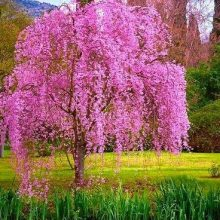Weeping Sakura Seeds, Cherry Blossom Seeds, 10pcs/pack