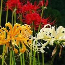 Spider Lily Seeds, 100pcs/pack