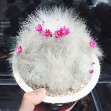 Rare Cactus seeds, mammillaria hahniana rare succulent seeds, bonsai flower seeds, indoor plant – 10 pcs/pack